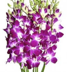 Fresh-Flowers-Purple-Dendrobium-Orchids