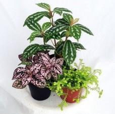 Terrarium-Fairy-Garden-Plants-Assortment-of-3-Different-Plants-in-2