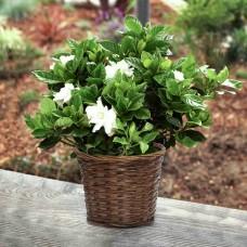 Large-Fragrant-Gardenia-in-Woven-Basket